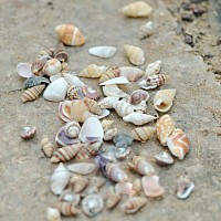 Sea Shell Accents - $3